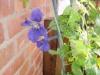 Altanprojekt - Clematis i blom  -09