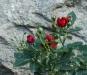 Rosen vid muren