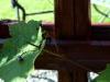 Avskärmningen med vindruvsrankor