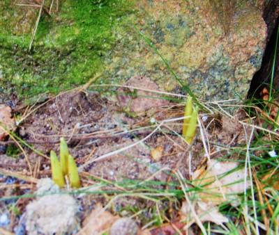 Krokusarna vid stenmuren